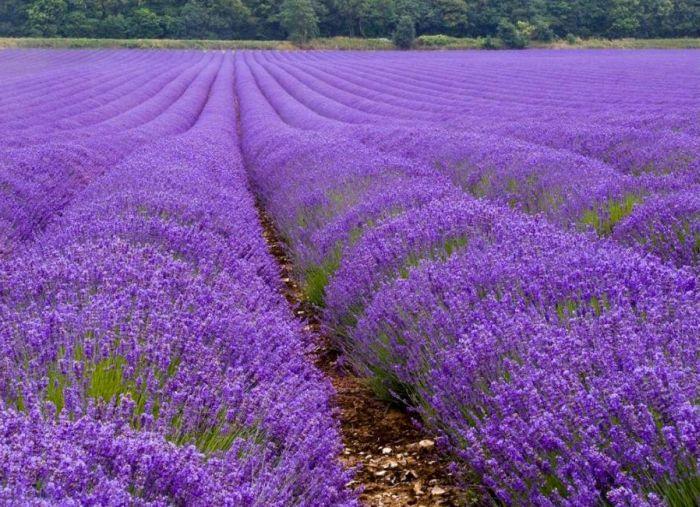 Beautiful Lavender Fields 25upen10