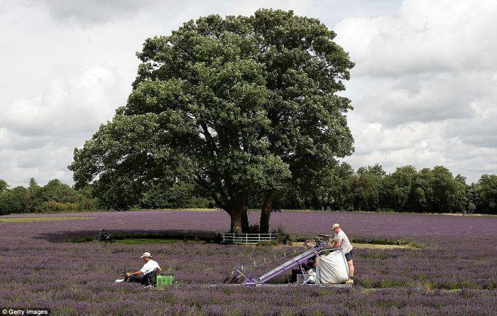 Beautiful Lavender Fields 2jdrlw10