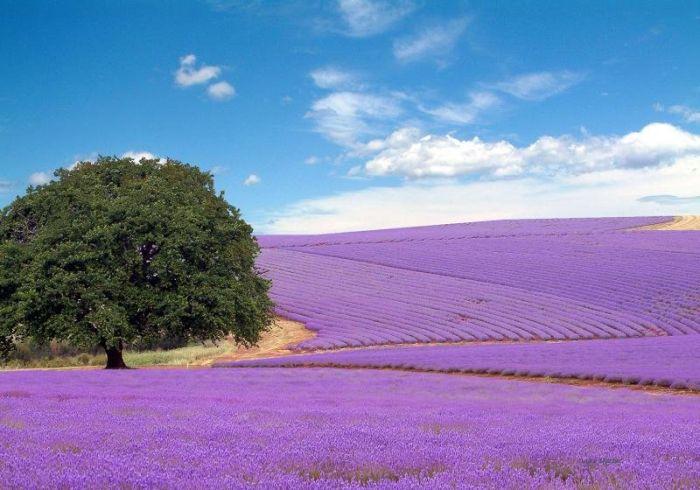Beautiful Lavender Fields 2mx23y10