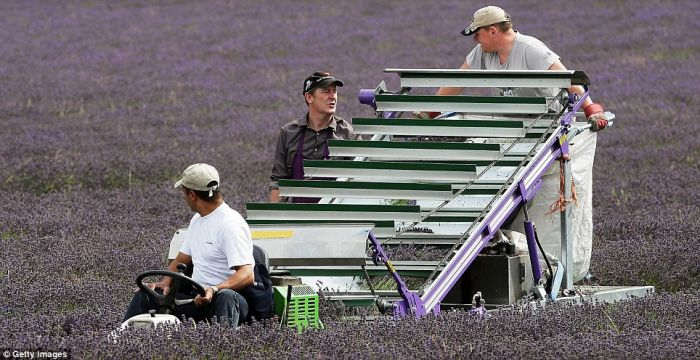 Beautiful Lavender Fields 2q2eb110