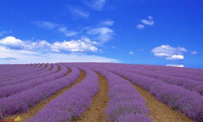Beautiful Lavender Fields Ok95cx10