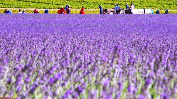 Beautiful Lavender Fields Qxt0s410