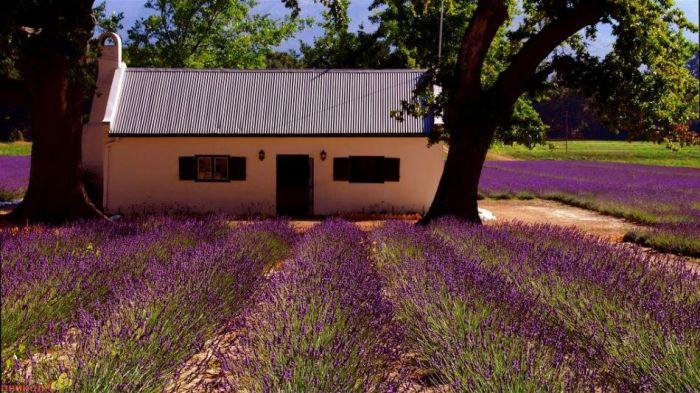 Beautiful Lavender Fields Xd0eu10