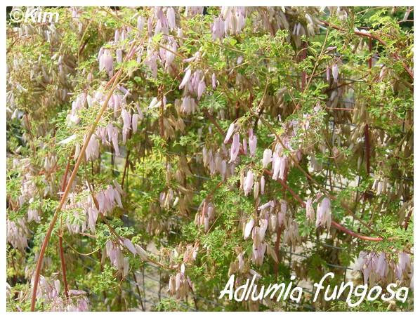 Adlumia fungosa Adlumi10