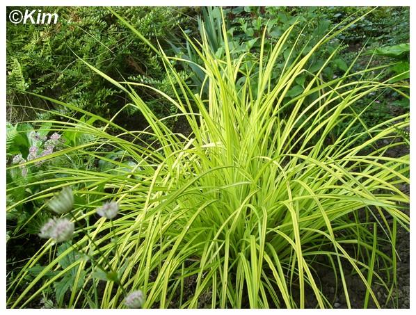 Identification d'une graminée dorée. Carex elata 'Aurea' Gramin10