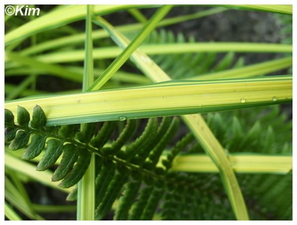Identification d'une graminée dorée. Carex elata 'Aurea' Gramin11