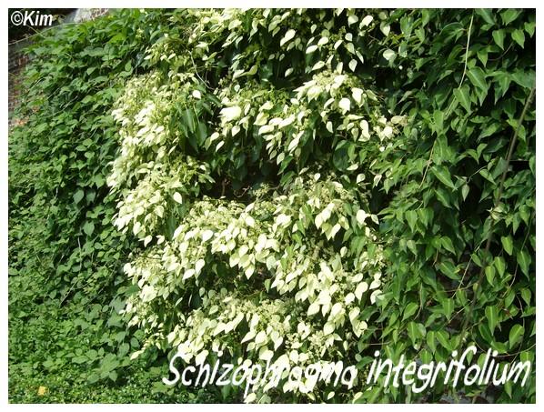 Schizophragma integrifolium Schizo10