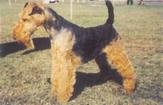 Le Welsh Terrier /caractéristiques Berger40