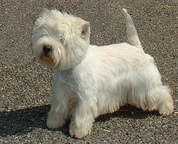 WEST HIGHLAND WHITE TERRIER ou Westie Berger41