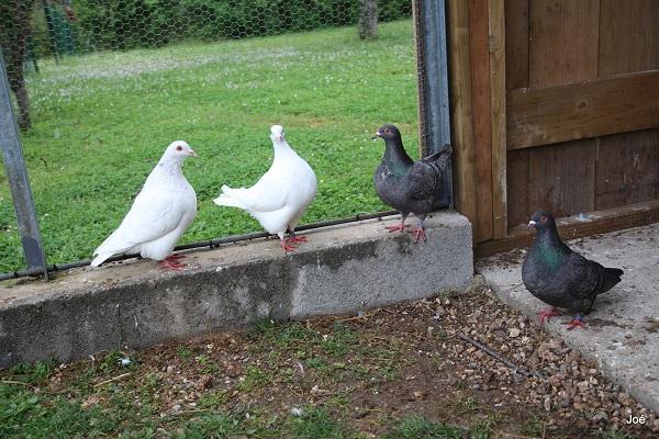 Mes pigeons Pigeon10
