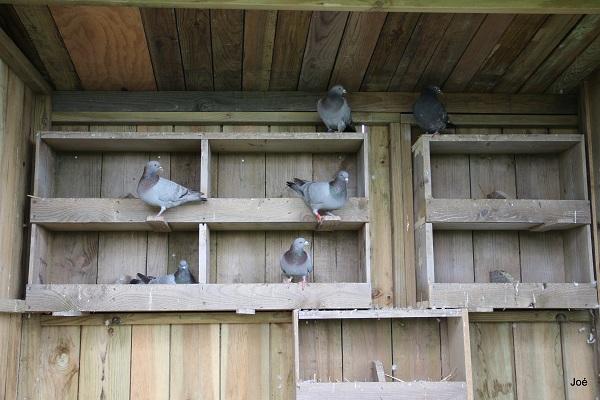 Mes pigeons Pigeon12