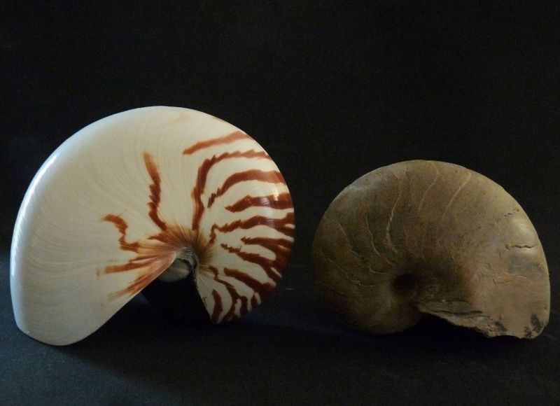 Nautile actuel et fossile [Cenoceras sp.] P1000510