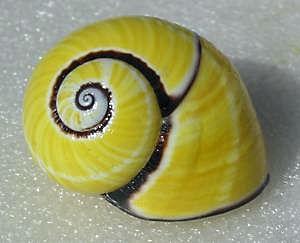 Escargot de Cuba Polymi10