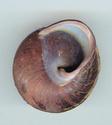 Escargots des Philippines P210