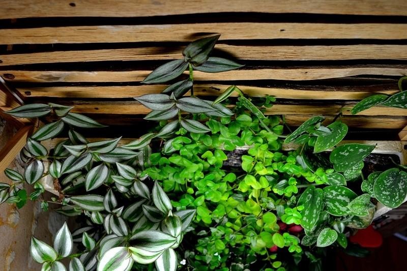 Petit Mur Végétal sur un Aquarium de 40L Dsc_0636