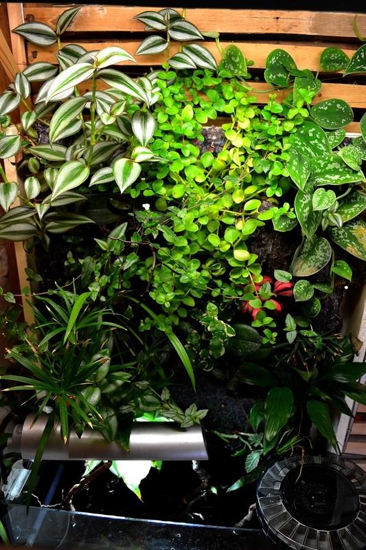 Petit Mur Végétal sur un Aquarium de 40L Dsc_0638