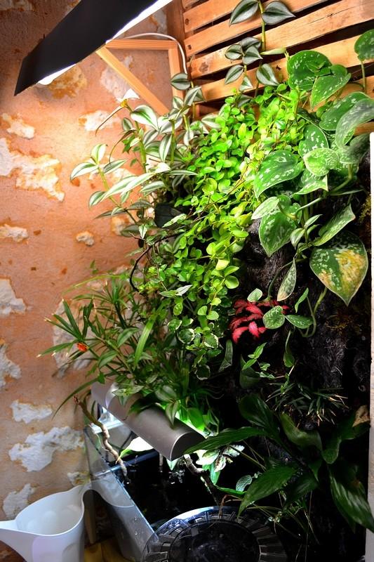 Petit Mur Végétal sur un Aquarium de 40L Dsc_0639