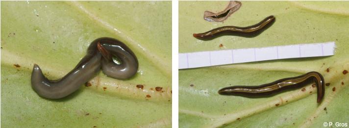 Très Préoccupant: un plathelminthe invasif  Plathe10