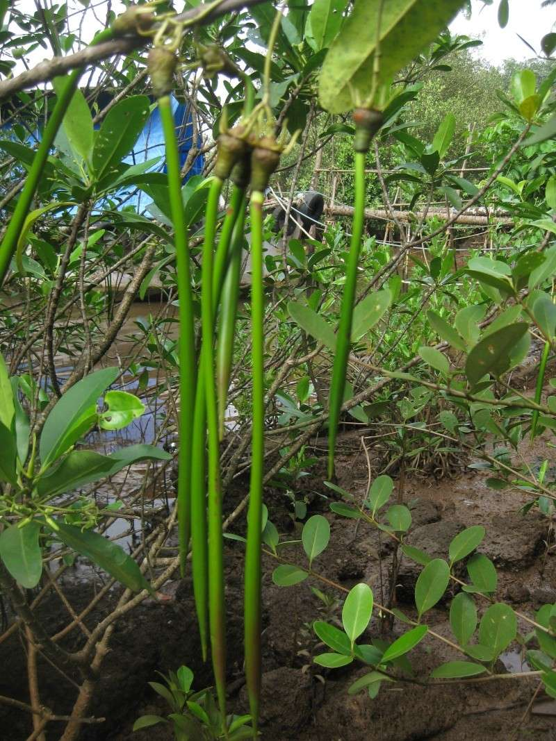 Rhizophora Img_0910
