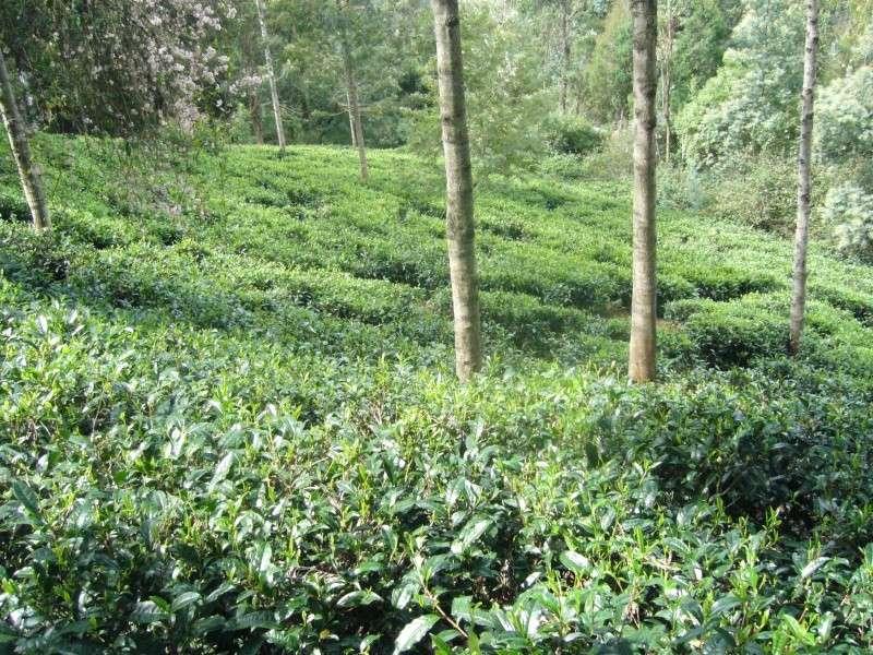 [Theaceae] Camellia sinensis P1100910