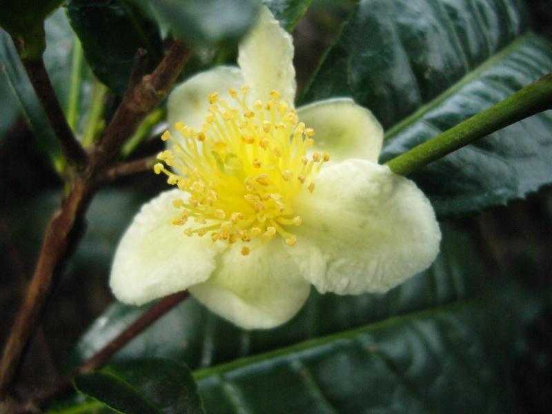 [Theaceae] Camellia sinensis P1100911