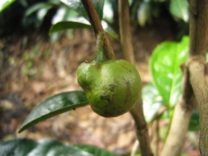 [Theaceae] Camellia sinensis P1110011