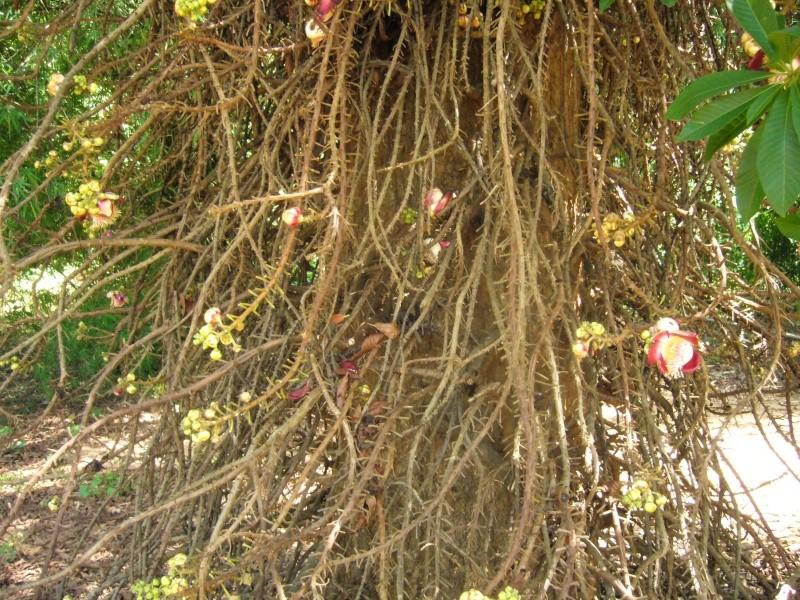 [Lecythidaceae] Couroupita guianensis P1110116
