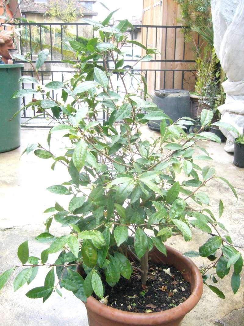 [Theaceae] Camellia sinensis P1110510