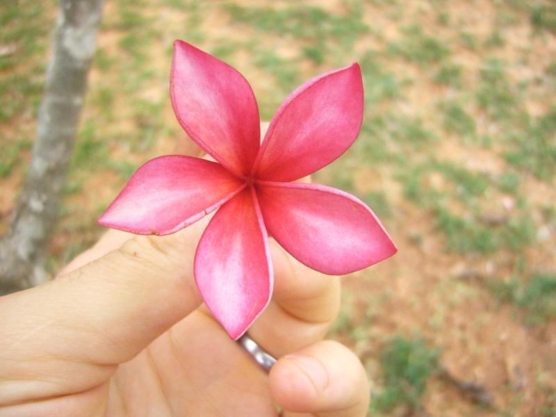 Plumerias d Auroville Plumer11