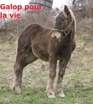(07) URSULE poulain comtois chocolat 700e [mac] 100_1619