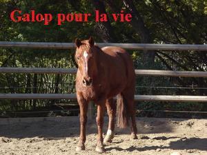 CUPIDON - ONC selle né en 1999 - adopté en juin 2011- hébergé à la Grange des Selles suite à abandon Cupido10