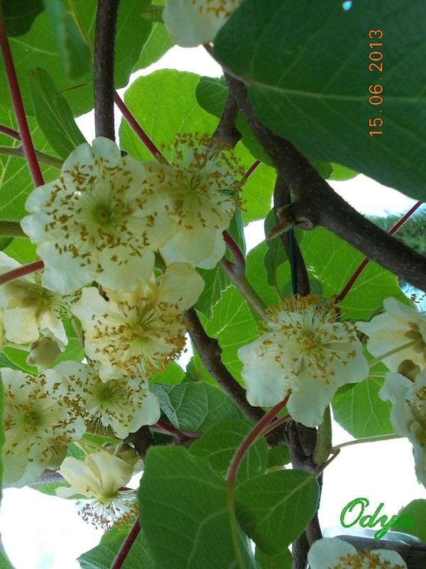 actinidia fruit kiwi - Page 4 2013_j68