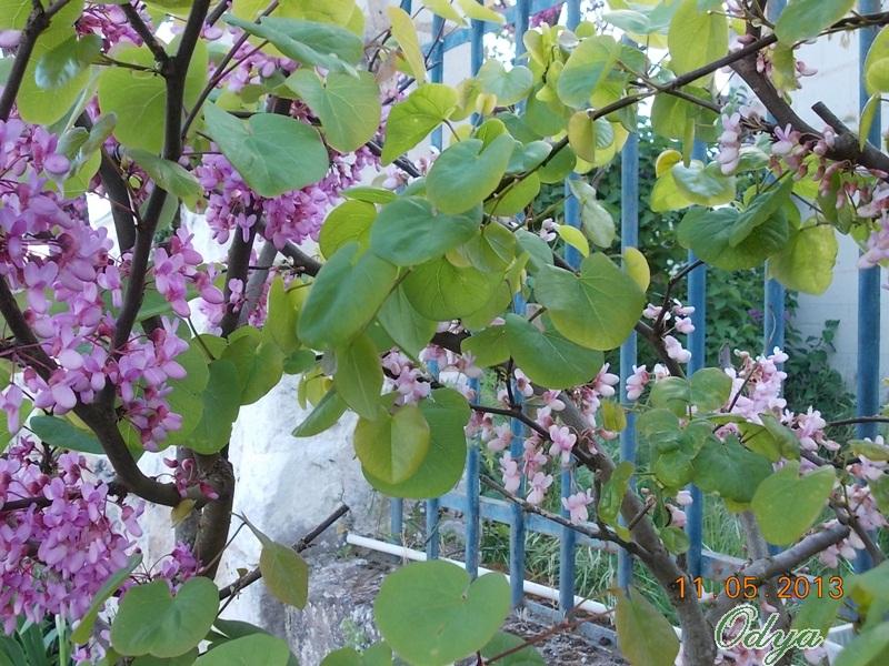 Pourquoi l'arbre de Judée s'appelle-t-il ainsi? - Page 2 Aa_20155