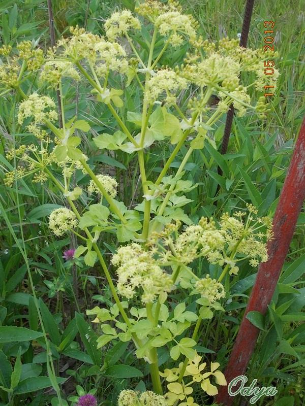 fleurs d'angélique Aa_mai51