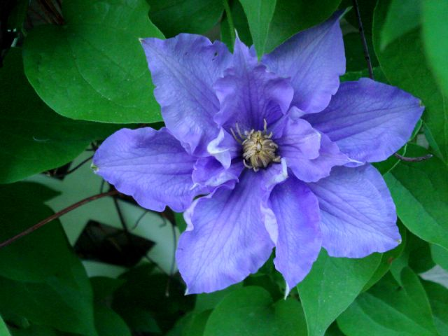 Clematis Will Goodwin 1040_c10