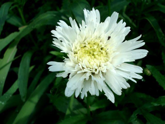 Chrysanthemum leucanthemum Crazy Daisy 2342_c10