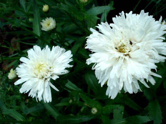Chrysanthemum leucanthemum Crazy Daisy 2342_c11