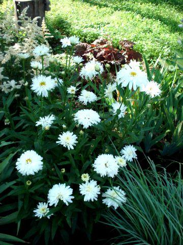 Chrysanthemum leucanthemum Crazy Daisy 2342_c12