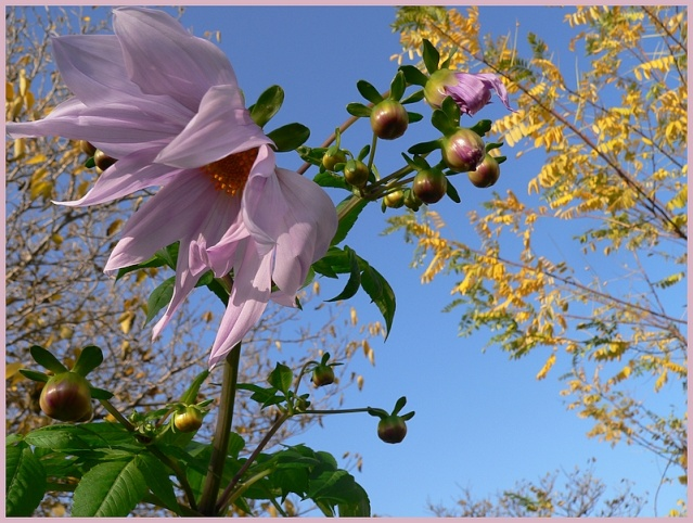 Dahlia imperialis - Page 2 P1170110