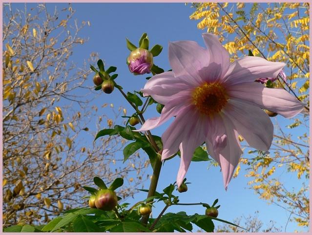 Dahlia imperialis - Page 2 P1170111