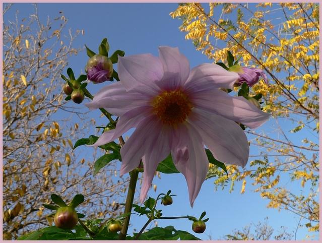 Dahlia imperialis - Page 2 P1170112