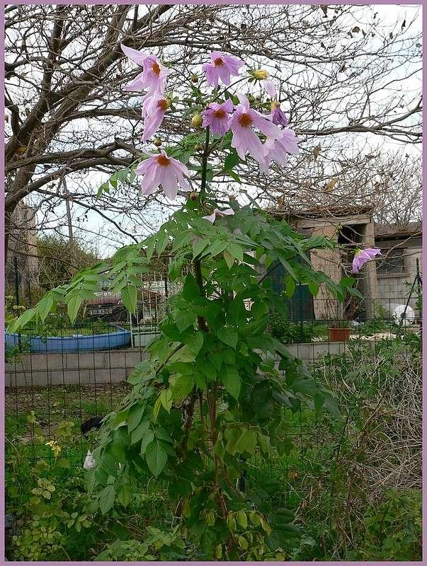 Dahlia imperialis - Page 3 P1170211
