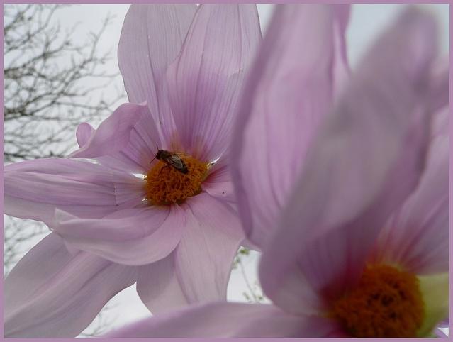 Dahlia imperialis - Page 3 P1170214
