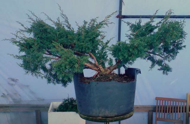 Workshop-Chinese juniper. Shim110
