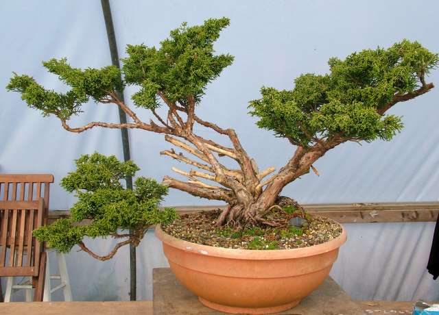 Workshop-Chinese juniper. Shim210