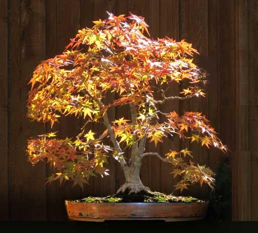 Pot choice for Acer palmatum? Normap10
