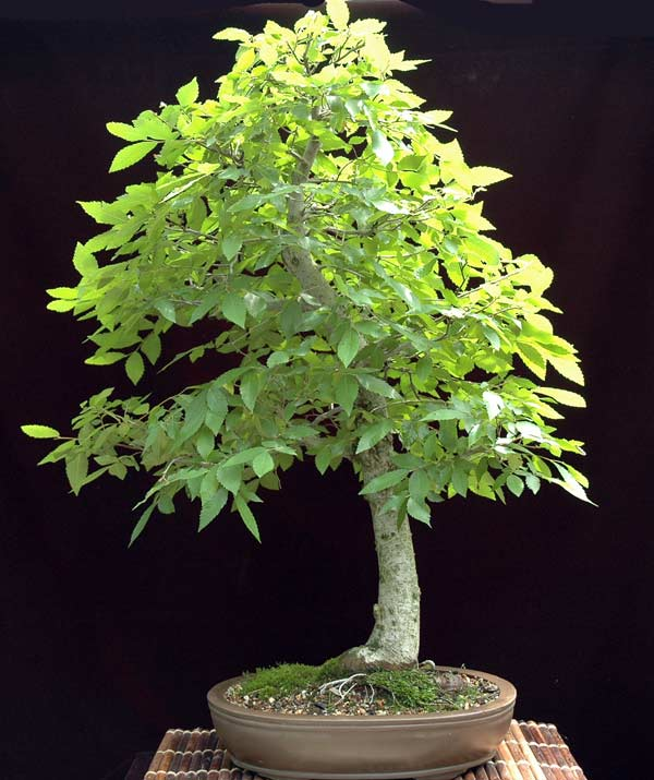 Oklahoma collected winged elm-First work Winged10