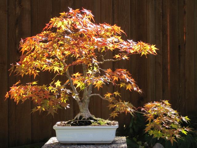 Pot choice for Acer palmatum? Img_0212
