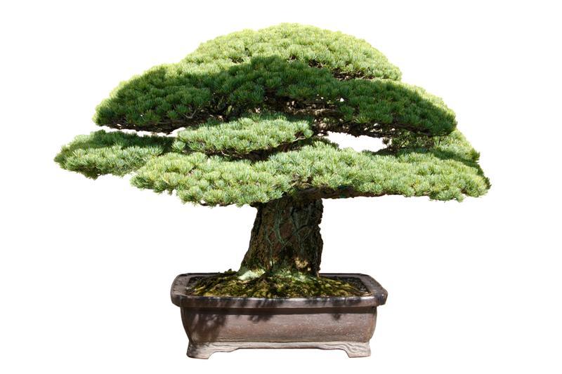 Hiroshima pine _dsc6610