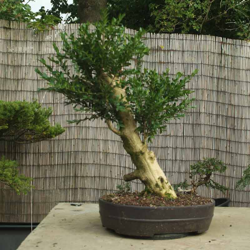 Stump it up, or what to look for in Urban Yamadori. Box-110